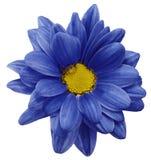 Fleur bleue de chrysanthème d'isolement sur le fond blanc avec le chemin de coupure closeup Aucune ombres Pour la conception illustration libre de droits