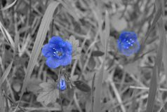 Fleur bleue de conte de Faity photographie stock libre de droits