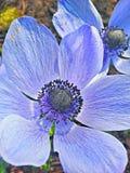 Fleur bleue de couleur Photographie stock