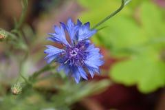 Fleur bleue de fleur de bouton du ` s de célibataire Photographie stock