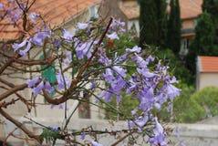 Fleur bleue de fleurs de mimosifolia de Jacaranda Images stock