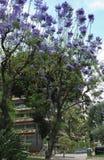 Fleur bleue de fleurs de mimosifolia de Jacaranda Photos libres de droits