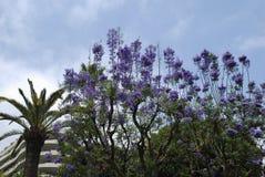 Fleur bleue de fleurs de mimosifolia de Jacaranda Photos stock
