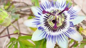 Fleur bleue de floraison de passion Beau caerulea de passiflore banque de vidéos