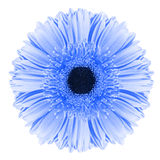 Fleur bleue de gerbera Photographie stock