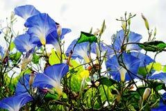 Fleur bleue de gloire de matin image libre de droits