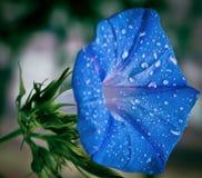 Fleur bleue de gloire de matin avec la rosée de matin Photos stock