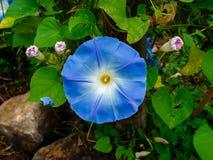 Fleur bleue de gloire de matin en parc photos stock