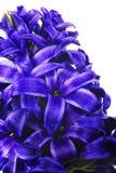 Fleur bleue de hyacinthe, printemps Image stock