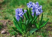 Fleur bleue de jacinthe en nature tropicale de forêt images stock