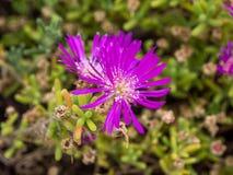 Fleur bleue de laitue Photos stock