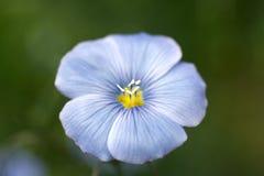 Fleur bleue de lin textile Images stock