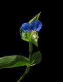 Fleur bleue de Lobelia Photos libres de droits
