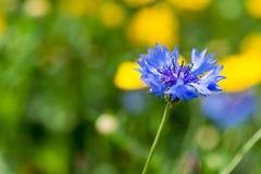 Fleur bleue de maïs photo libre de droits