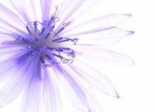Fleur bleue de maïs Images stock