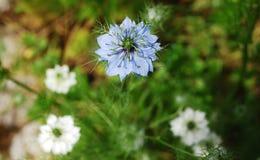 Fleur bleue de maïs Images libres de droits