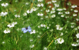 Fleur bleue de maïs Photos libres de droits