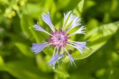 Fleur bleue de maïs Photographie stock