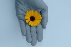Fleur bleue de main et de souci. Images libres de droits