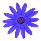 Fleur bleue de marguerite d'Osteosperumum d'isolement sur le blanc Photographie stock libre de droits