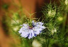 Fleur bleue de nigella Image libre de droits