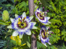 Fleur bleue de passion (caerulea de passiflore) Image libre de droits