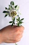 Fleur bleue de passion, caerulea de passiflore Image stock