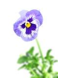 Fleur bleue de pensée Photographie stock