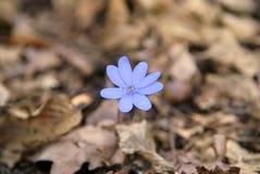 Fleur bleue de ressort photo stock