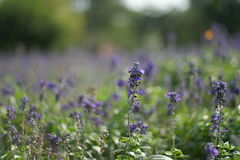Fleur bleue de Salvia Photos libres de droits