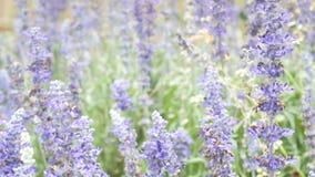 Fleur bleue de sauge bleue de salvia Belles fleurs violettes sur le pré avec l'herbe banque de vidéos