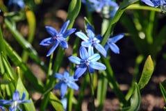 Fleur bleue de scilla formée sous forme d'étoile image stock