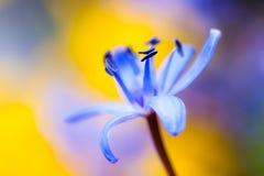 Fleur bleue de source Photos stock