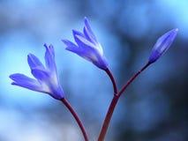 Fleur bleue de source photos libres de droits