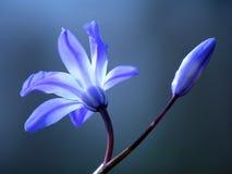 Fleur bleue de source Images libres de droits