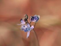 Fleur bleue de source photographie stock libre de droits