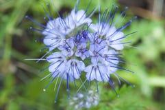 Fleur bleue en été Images stock