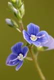 Fleur bleue en fleur Images libres de droits