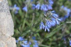Fleur bleue endémique balkanique photos stock