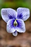 Fleur bleue et blanche Images stock