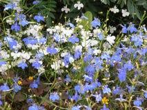 Fleur bleue et blanche de lobélie image stock
