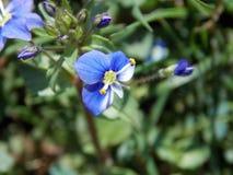 Fleur bleue et blanche qui porte les colorants jaunes image stock