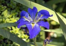Fleur bleue et jaune d'orchidée, Dallas Arboretum image stock