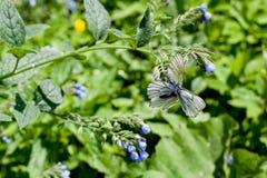 Fleur bleue et papillons blancs sur le vert Photo stock