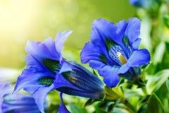 Fleur bleue gentiana de ressort de trompette dans le jardin Photos libres de droits