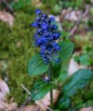 Fleur bleue intensive dans la forêt images libres de droits
