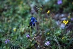 Fleur bleue isolée Image stock