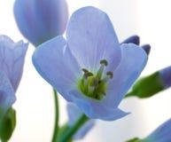 fleur bleue ouverte Photos stock