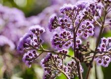 Fleur bleue rétro-éclairée de brume Image libre de droits