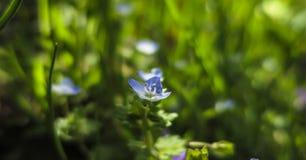 Fleur bleue sensible de persica de Veronica ou véronique persane sur le bokeh naturel d'herbe verte photos libres de droits